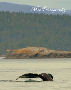 Humpback fluking near Sooke BC - great place for whale watching !!  Saw the whale pod with a baby.  My best friend's husband made it possible.  Awesome experience for a dry land farmer!