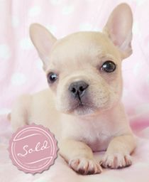 French Bulldogs and Frenchie Puppies For Sale in South Florida