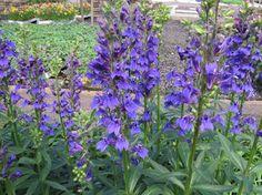 lobelia fan blue