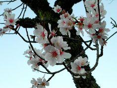 Almond tree blossom in Algarve, Portugal