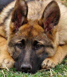 Face Brown Short Haired German Shepherd Puppies