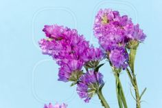 plant, flower, bloom, blossom, flora, dry flowers, pink, blue, cyan background