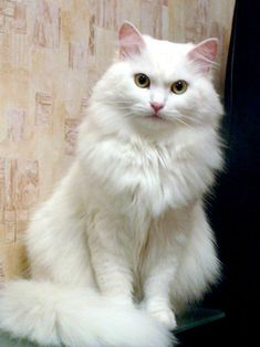 Looks like my Salty kitty, miss her . White Kittens, Cute Cats And Kittens, Baby Cats, Kittens Cutest, Ragdoll Kittens, Funny Kittens, Bengal Cats, Pretty Cats, Beautiful Cats