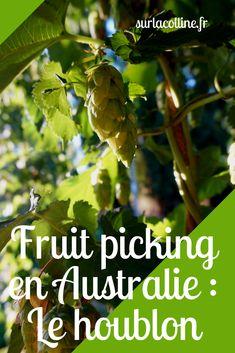 Le fruit picking est incontournable chez les backpackers en WHV en Australie. Dans le houblon ça change des classiques pommes et oranges!