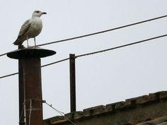 """""""Larum argentum"""" es el nombre científico del ave que se posóo sobre la chimenea de la Capilla sixtina."""