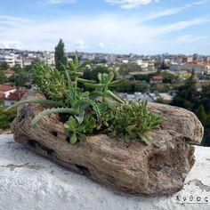 Σύνθεση με ιδιαίτερα παχυφυτα,  μέσα σε χειροποίητο φυσικό ξύλο! Ένας όμορφος συνδυασμός  που μπορεί να διακοσμήσει κάθε σημείο του σπιτιού! Σύντομα διαθέσιμα.  #suculent #cactus #plants #new #thessaloniki #flowers #suculentlover #suculenta #cactuslover #handmade #wood #woodworking Plants, Succulents, Plant, Planets
