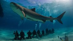 Tiger sharks cool with ecotourism...like a boss, all day erry day.