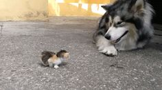 Huskey and Kitten