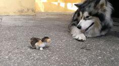 Huskey and Kitten