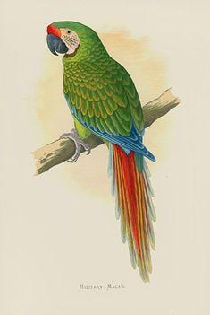 Parrot Tattoo, Bird Book, Bird Drawings, Vintage Birds, Wood Engraving, Antique Prints, Bird Prints, Bird Art, South America