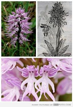 Orchis italica -- an orchid with little people - Funny flower is an orchid that looks like little people are attached to it.