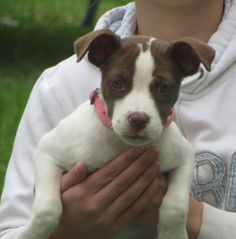 Keeley is an adorable little pitbull mix girl. She is about 8 weeks old currently. She is good with other dogs, kids, and cats. This fun loving puppy is always on the move. She is used to being crated when her foster family leaves for the day and at...