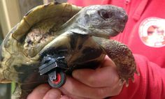 Meet Schildi the bionic tortoise. He was found with a missing leg having probably been abandoned by his owners. Vets in Germany who patched … stole my heart.