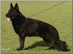 The Paska Line - Superior black German Shepherds