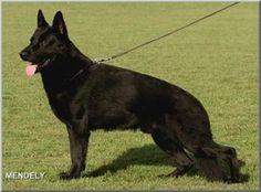 The Paska Line - Superior black German Shepherds