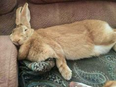 My Flemish Giant. Matilda : My Flemish Giant. Giant Bunny, Big Bunny, Cute Bunny, Adorable Bunnies, Fluffy Bunny, Large Animals, Baby Animals, Cute Animals, Flemish Giant Rabbit