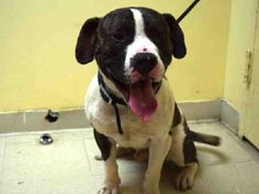 06.28.2016 SUPER URGENT 2 ex-pets to adopt in Staten Island NYC ADOPT HEARTBEAT – A1078671 MALE, BR BRINDLE / WHITE, PIT BULL MIX, 1 year old, OWNER SURRENDER, Reason PERS PROB Intake condition UNSPECIFIED, needs an assessment request from an interested person to determine detailed health and temperament Friendly male, allowed all handling. Intake Date 06/24/2016, From NY 10310, DueOut Date 06/24/2016, I came in with another dog named Lifeline #K16-062774.