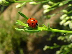 What You Can Plant to Attract Ladybugs & Lacewings    Here is a short list of herbs and veggies that you can eat and use to attract these good guys:    Coriander/Cilantro  Dandelion  Dill  Fennel  Lady bugs will also be attracted to Marigolds  There are billion other flowers that can be planted to attract these and other beneficial insects, but want to help you really maximize your small space.