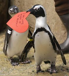 An African penguin walks away with a heart shaped #valentine handed out by aquarium biologist Piper Dwight at the California Academy of Sciences in San Francisco, Monday, Feb. 13, 2017. The valentines will be used as nesting material.