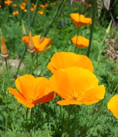 Californian Poppies at Nymans National Trust National Trust, Days Out, Poppies, Plants, Poppy, Plant, Poppy Flowers, Planets
