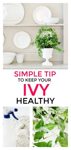 Easy Tip to Keep Your Ivy Plant Fresh All Year | Thistlewood Farms