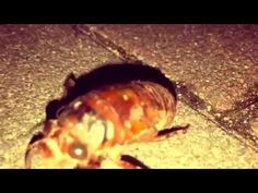Sweet♡ Walking Larva of the cicada - YouTube