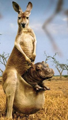 Hippopotamus & Kangaroo! Now something is wrong here. Poor mama-roo.