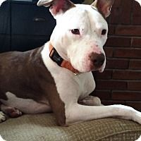 ADOPTED**Pictures of *URGENT* Burger a Pit Bull Terrier Mix for adoption in Prospect, CT who needs a loving home.