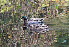 October 2012: Wild Alaska Ducks swimming in my sister in law's backyard pond in Juneau, Alaska...