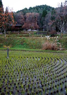 Hida Folk Village rice field, Takayama