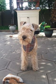 Loved our little Lakeland Terrier, Rusty. He was such a little clown; he made me laugh every day. This looks so much like him.