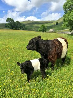 Dutch Belted or Galloway Cows.