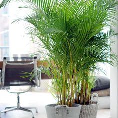 L'entretien d'un palmier intérieur