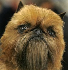 18 Dogs That Look Like Chewbacca - BuzzFeed Mobile