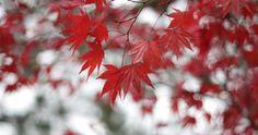 tree maple red 4k ultra hd wallpaper