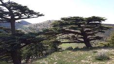 #algeria #cedar tree #green #green leaf #landscape #mountain #nature #outdoor #tree
