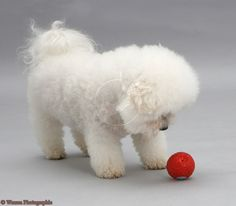 Google Image Result for http://www.warrenphotographic.co.uk/photography/bigs/11848-Bichon-Frise-with-a-red-ball.jpg