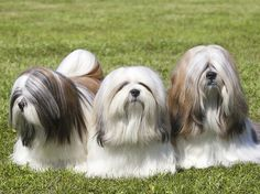 The Lhasa Apaso is not a guard dog in the normal sense. They are not aggressive. They have got extremely good hearing and they hear anybody before you do, and they're always there first, letting you know basically that there's intruders about.  Photograph by Getty Images