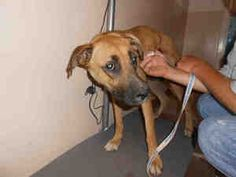 LOOKS so SAD: A136367 is an adoptable German Shepherd Dog Dog in Olivehurst, CA.  ...