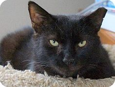 Meet Maury, a Petfinder adoptable Domestic Short Hair Cat Unisex Name, Short Hair Cats, Wakefield, New Friends, Short Hair Styles, Meet, Boys, Animals, Bob Styles