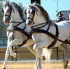Driving Andalusians!  Pretty!