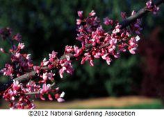 redbud, eastern redbud, (cercis canadensis)