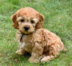 I will have a cockapoo one day; they are so cute!