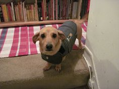 Abby, my Dachshund - Jack Russell mix, loves her Thundershirt!  Pet safety tips for the 4th of July at my blog today.