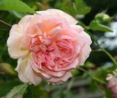 Photo of Rose (Rosa 'Souvenir de Madame Leonie Viennot') uploaded by Calif_Sue