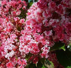 "Peppermint Lace Crape Myrtle Lagerstroemia indica ""Nana"" ... https://www.amazon.com/dp/B017TFPESG/ref=cm_sw_r_pi_dp_GfnMxbC32AVZ6"