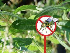 plantes anti-moustiques dites «insectifuges»