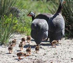 Guinea keets on the ground