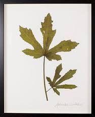 framed pressed leaves - Google Search