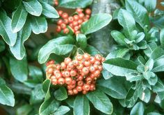 leaves and  fruit Pyracantha coccinea